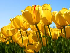 My mom was my inspiration for traveling. She loved visiting exotic places, and yet enjoyed the simple things in life. Yellow tulips were her favorite flower. Yellow Tulips, Mellow Yellow, Bright Yellow, Color Yellow, Blue Green, Sprays, Indoor Plants, Funeral, Gardens