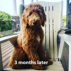 Golden Labradoodle, Australian Labradoodle Puppies, Doodle Dog Breeds, Lion Cat, Dog Haircuts, Puppy Cut, Cutest Dog Ever, Cute Dogs, Dogs