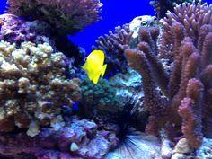 Yellow Tang Long Beach Aquarium, Fish, Yellow, Pets, Animals, Animales, Animaux, Animal, Animais