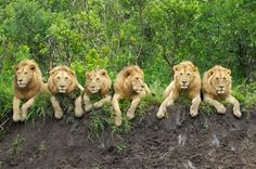 This image of six young male lions was captured by photographer Daniel Dolpire during a group safari in Serengeti National Park.  What an awesome photo of wild lions!!!