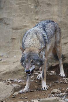 ヨーロッパオオカミ : 獣道でグダグダ日記