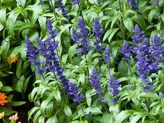8 x SALVIA BLUE QUEEN PERENNIAL COTTAGE GARDEN PLUG PLANTS SCENTED BEE • PicClick