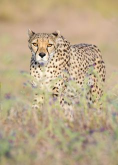 Cheetah by Claudia Brockmann on 500px