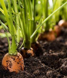 Protéger le potager avec des plantes : Adieu pesticides ! Des alternatives bios pour le jardin - Linternaute Permaculture, Potager Bio, Celery, Palette, Vegetables, Gardens, Plants, Good Bye, Colors