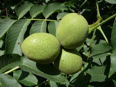 Black Walnut Companion Planting - Walnut trees are fruitful and beautiful, but can be bad neighbors to certain plants Holistic Nutrition, Healthy Nutrition, Walnut Uses, Black Walnut Tree, Organic Acid, Grow Organic, Corn Fritters, Alternative Medicine, Shell