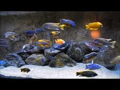 ▶ World's Greatest relaxing African Cichlid Aquarium - YouTube