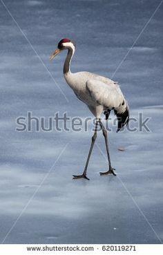 Stock Photo: Common crane walking on the ice of a frozen water in early spring. -