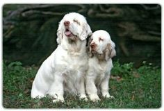 """Clumber Spaniel Cutting Board by Canine Designs. $29.95. Made of tempered glass making it virtually unbreakable.. Hygenic and easy to clean.. Heat resistant.. Size: 8"""" x 11"""". Scratch Resistant - imprinted on back. Our beautiful, dog breed cutting boards will enhance any kitchen. They make great gifts, are made of tempered glass and measure 9"""" x 12"""". They are heat resistant, scratch resistant, virtually unbreakable, easily cleaned and dishwasher safe."""