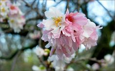 Kirschblüten im November - Jahreszeiten - Galerie - Community