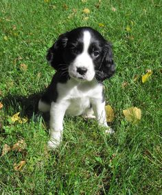 Lucy, English Springer Spaniel Pup!