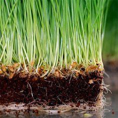 HYDROPONICS VS. SOIL (for wheatgrass)