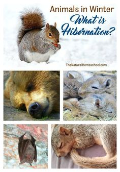 We love studying animals! And animals in Winter are simply fascinating! I am so excited to introduce to you our Animals in Winter Unit: What is Hibernation?