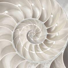 White Nautilus