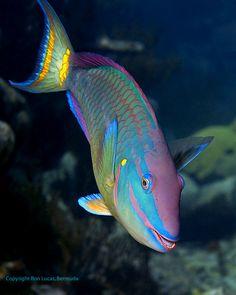 Reef Portraits Bermuda - Ronald W Lucas Pretty Fish, Cool Fish, Beautiful Fish, Underwater Creatures, Ocean Creatures, Beautiful Sea Creatures, Animals Beautiful, Colorful Fish, Tropical Fish
