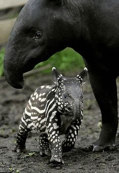 Tapir Baby - I always loved tapirs, they are so cute