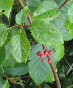 Aristotelia serrata – Wineberry/Makomako (berries) Tall Shrubs, Small Trees, Native Plants, Banks, Berries, Channel, Gardens, Outdoor Gardens, Bury