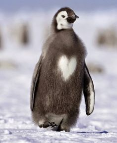 Cute animals Emperor penguin chick with a heart Cute flamingos Heart In Nature, Heart Art, God's Heart, Beautiful Birds, Animals Beautiful, Beautiful Hearts, Baby Animals, Cute Animals, Funny Animals