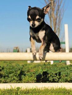 Chihuahua jumping hurdles via www.Facebook.com/CuteChihuahuaFans