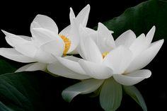 https://flic.kr/p/iPujDx   Lotus Flower   Lotus Flower