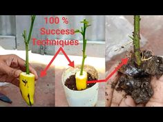 Gardens Discover How to grow lemon tree from cutting (in a banana) What Flowers To Plant Together Grow Banana Tree How To Grow Bananas Regrow Vegetables Backyard Plants Backyard Hammock How To Grow Lemon Growing Fruit Trees Pineapple Planting Fruit Garden, Garden Care, Vegetable Garden Design, Home Vegetable Garden, Banana Plant Indoor, Banana Plants, Growing Fruit Trees, Growing Plants, Growing Roses