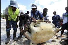 Defending wildlife from poachers - Members of the public help to move one of the three turtles killed by poachers near the Jomo Kenyatta Public Beach at the coastal port town of Mombasa, Kenya, December 3, 2012.