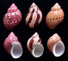 Phasianella ventricosa  Swainson, W.A., 1822  Swollen/Common Pheasant  Shell size  25 - 45 mm  New South Wales - W Australia; Tasmania