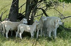 A Great Pyrenees with the sheep he guards.