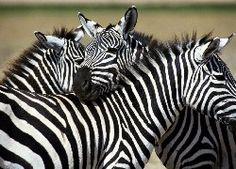 Trzy, Zebry