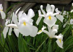 Iruis hollanducum Iris Flowers, All Flowers, Colorful Flowers, White Flowers, Planting Flowers, Bog Garden, Gravel Garden, Iris Reticulata, Dutch Iris