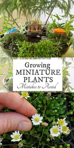 mini garden Want to grow a miniature garden with living plants Miniature gardening expert Janit Calvo has whippped up this list of seven common miniature plant growing mistakes you can avoid. Fairy Garden Plants, Mini Fairy Garden, Fairy Garden Houses, Fairy Gardening, Fairies Garden, Garden Pond, Miniature Plants, Miniature Fairy Gardens, Indoor Fairy Gardens