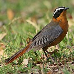 Image Result For The Olive Thrush Garden South Africa