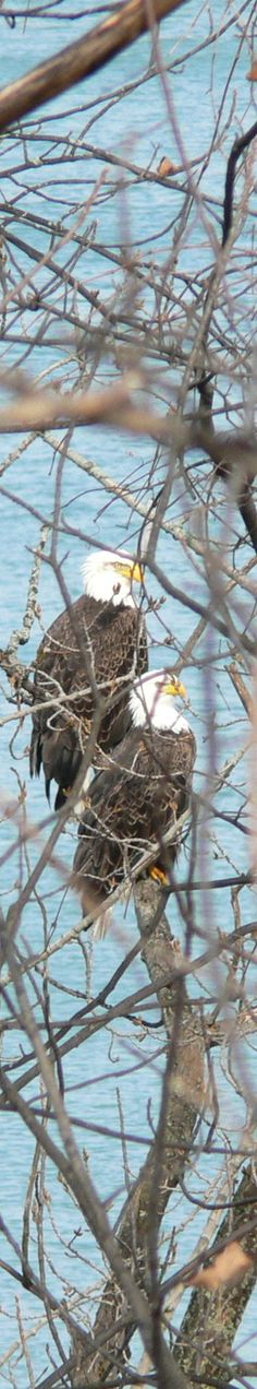 Bald Eagles by the Niagara River