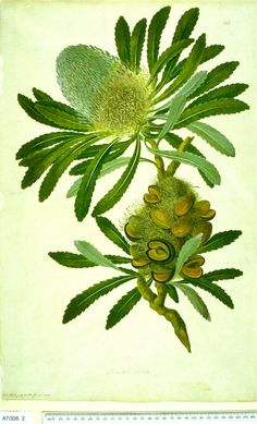 Banksia serrata. A species of woody shrub native to east coast Australia. One of the four original Banksia species collected by Joseph Banks in 1770.   Illustration: 1773, John Frederick Miller