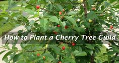 How to Plant a Cherry Tree Guild
