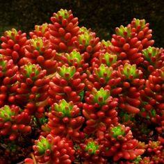 Sedum rubrotinctum Red Jelly Beans