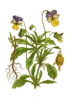 Lijst geneeskrachtige kruiden en planten