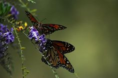 Gulf Fritillary and Monarch butterflies on a Duranta by klbarr, via Flickr