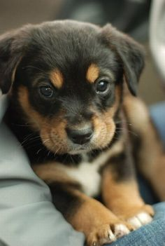 Cute little Rottweiler puppy.