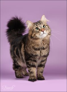 Siberian cat  Oh my Tigger! He had targets on his sides like this cat!!
