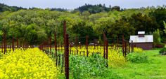 Napa Valley in spring # LisaLeeArts