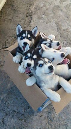 Top 5 Healthiest Dog Breeds - WOrds and Style - Dogs Cute Husky Puppies, Super Cute Puppies, Baby Animals Super Cute, Cute Baby Dogs, Cute Little Puppies, Cute Little Animals, Cute Funny Animals, Top Dog Breeds, Cute Dogs Breeds