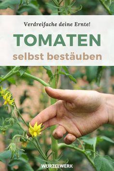 Deine Tomaten-Blüten fallen ab? So rettest du deine Früchte und verdreifachst deine Ernte! - Von leckeren Tomaten aus dem eigenen Garten dem Balkon oder Gewächshaus kann man doch nicht genug haben, oder? In meinem Artikel verrate ich dir einen genialen Trick mit dem Du bis zu dreimal mehr Früchte von deinen Tomaten Pflanzen ernten kannst. Mit einer Zahnbürste oder mit der Hand kannst du die Tomaten ganz leicht selber bestäuben #Tomaten #Selbstversorgung #Wurzelwerk Greenhouse Plants, Green Beans, Herbs, Tips, Greenhouses, Inspiration, Gardening, Farmhouse Garden, Planting Fruit Trees