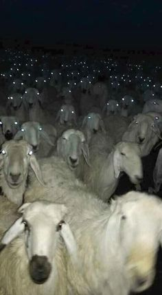 Running Into a Herd Of Sheep At Night Could Be Quite Terrifying - World's largest collection of cat memes and other animals Animals And Pets, Baby Animals, Funny Animals, Cute Animals, Creepy Animals, Wild Animals, Animal Pictures, Funny Pictures, Satanic Rituals