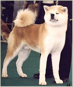 AKITA Inu...what a show dog!  Beautiful confirmation!