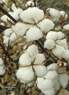 Cotton plant ready to harvest / Great for nesting material for birds.
