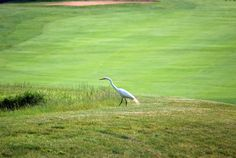 Heron on a golf course by Douglas Paluck. Golf course animals. Rutgers Professional Golf Turf Management School NJ.