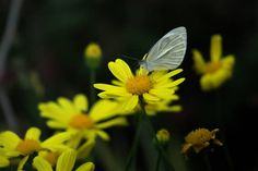 yellow daisies with butterfly in spring