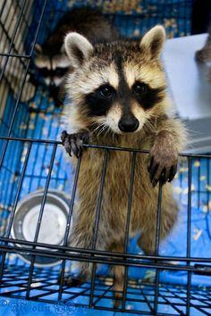 baby raccoons. i loves himz. i want to keep himz
