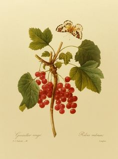 Vintage Red Currant, Redoute Flower Print, Botanical Illustration (Fruit 9 x 12 Book Plate) No. 51.