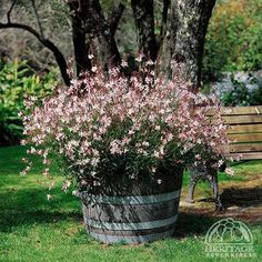 """Gaura-this plant makes me happy! It's long dainty """"fronds"""" have the daintiest flowers that look like """"butterflies"""" when the wind catches them. I have them on the edge of my flower garden and they """"drape"""" over onto the grass. Garden Planters, Beautiful Gardens, Mediterranean Garden, Cottage Garden, Perennials, Plants, Planting Flowers, Garden Inspiration, Gaura Plant"""